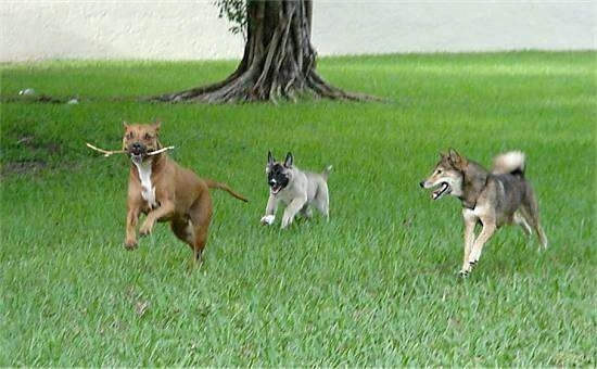 Red the American Stafforshire Terrier has a stick in its mouth and is running away from Hachi the Akita Inu and Shin the Shiba Inu