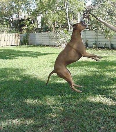 Red the American Staffordshire Terrier is jumping up to grab a stick out of a hand.