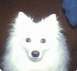 Close Up - The face of a white American Eskimo Dog that is sitting on a carpet