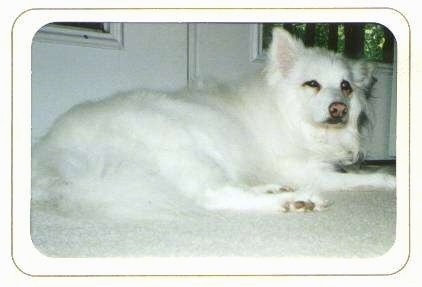 The right side of a white American Eskimo Dog that is laying on a carpet in front of a door