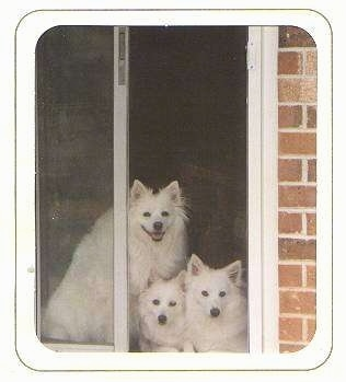 Three white American Eskimo Dogs are looking out of a sliding screen door