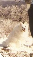 The right side of a white American Eskimo Dog that is sitting down in a sandy desert area. Its mouth is open and it is looking forward.