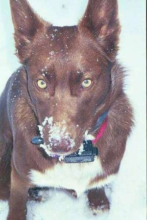 Green-eyed American Indian Dog sitting in snow with snow all over its face