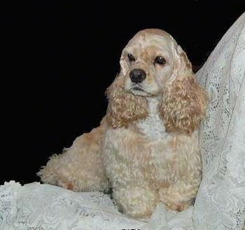 The front right side of a tan American Cocker Spaniel that is sitting on a lace curtain