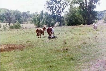 Two Australian Cattle Dogs are standing near cattle