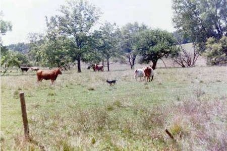 australian heeler hall s heeler australian cattle dog for sale