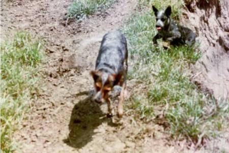 Topdown view of Two wet Australian Cattle Dogs that are walking down a dirt path.