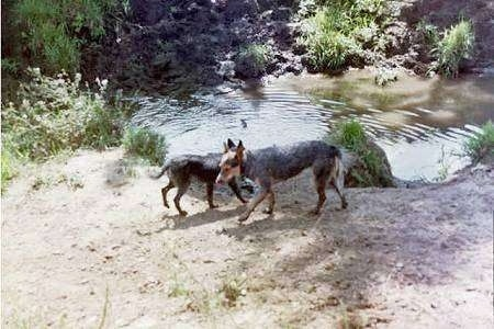 Working Cattle Dogs