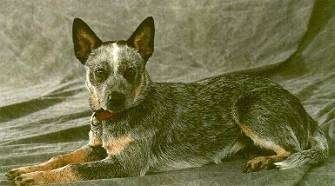 The left side of an Australian Cattle Dog puppy that is laying on a backdrop and it is looking forward.