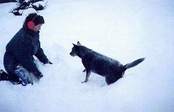 The left side of an Australian Cattle Dog that is playing around in the snow with a person in snow gear across from it.