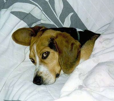 Echo the Beagle laying a bed covered in a blanket