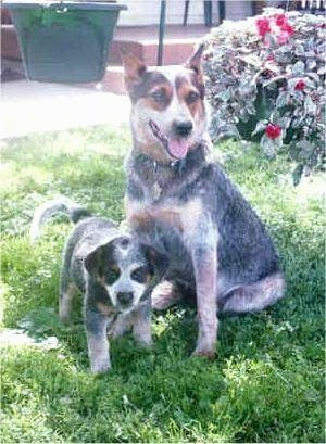 A merle Australian Cattle Dog is sitting on grass next to an Australian Cattle Dog puppy that is standing in front it. They both are looking forward.