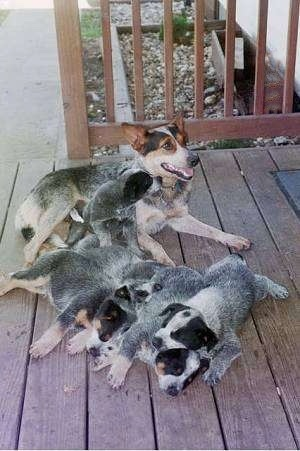 An Australian Cattle Dog is laying with her mouth open and there are five Australian Cattle puppies all around her on a wooden porch