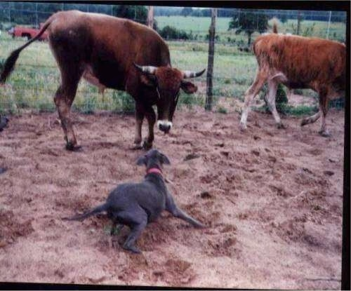 Blue Lacy dog barking at cattle
