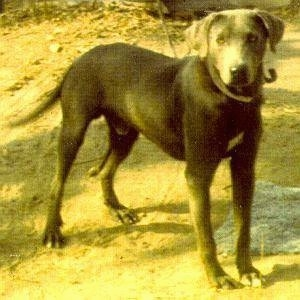 Blue Lacy standing outside in the dirt