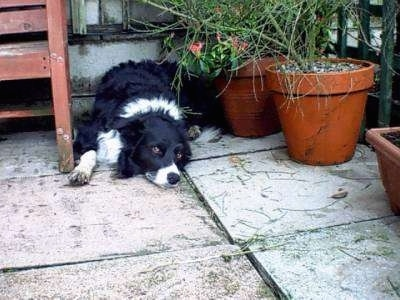 Rory the Border Collie resting outside next to flower pots