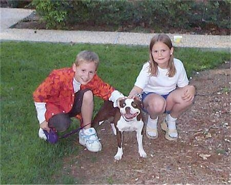 Front view - A brown with white Olde Boston Bulldogge is standing in dirt in between a boy and a girl who are kneeling with their hands on the dog's back.