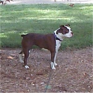 Right Profile - A brown with white Olde Boston Bulldogge is standing in wood chips looking forward.