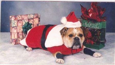 Kaddy the Bulldog laying in front of presents and wearing a Santa Claus costume
