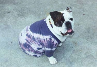 Mugzy the English Bulldog wearing a purple tie dye shirt and looking happily at the camera
