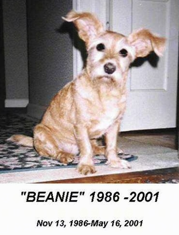 Beanie the dog sitting on a rug with its head tilted to the left. The words - 'BEANIE' 1986-2001 Nov 13, 1986-May 16, 2001
