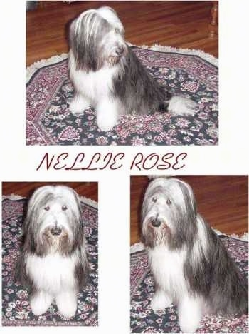 Three Pictures of Nellie Rose the Bocrder Collie with the words 'Nellie Rose' overlayed