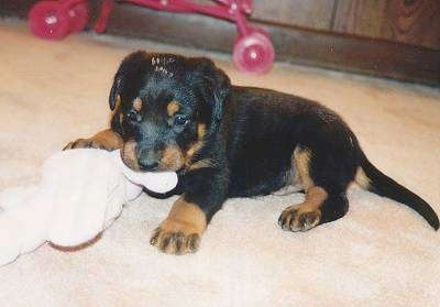Baby Brutus the Beauceron puppy laying on a floor chewing a toy