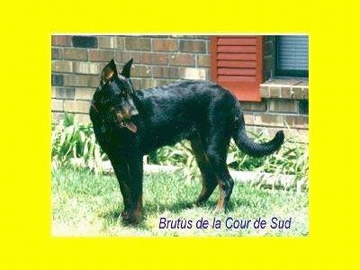 Brutus the Beauceron standing outside in front of a brick house window looking to the left with a yellow overlay border around the picture