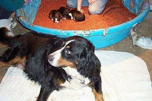 Jackie the Bernese Mountain Dog laying on a blanket on the floor with a litter of three puppies in a blanket lined blue plastic pool behind her