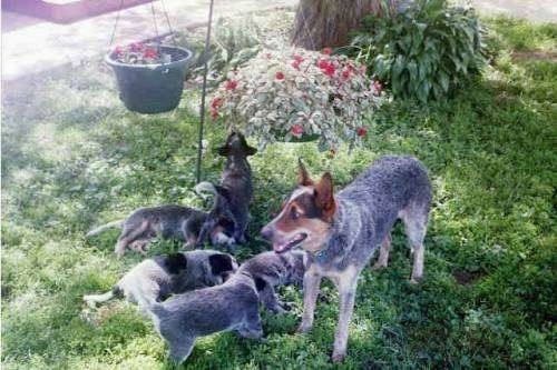 The left side of an Australian Cattle Dog that is standing in a field, next to a tree with five Australian Cattle Puppies who are playing in the lawn.