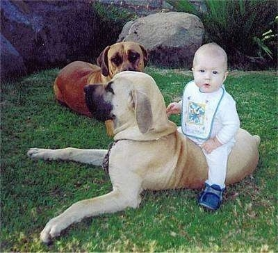 Maximillion the Boerboel has a baby sitting on its back. Bianca the Boerboel is laying in the background