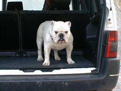Clarence the Bulldog standing in the back of a vehicle's hatch area