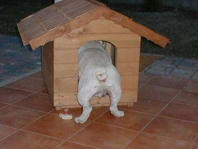 Clarence the Bulldog walking into a doghouse with his back end sticking out the doorway