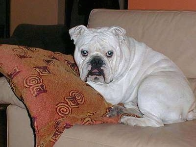 Clarence the Bulldog laying on a tan leather couch leaning on a pillow