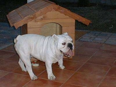 Clarence the Bulldog standing outside on a patio next to a doghouse with his mouth open and tongue out