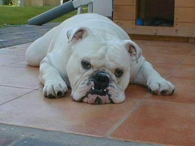 Clarence the Bulldog laying down on the back porch in front of a doghouse