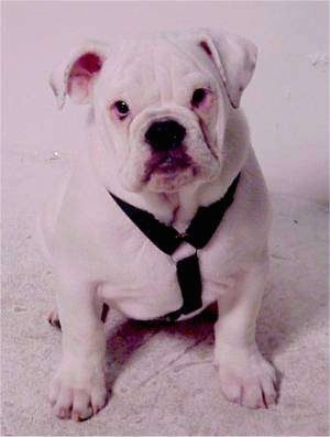 Floyd the white Bulldog puppy wearing a black harness sitting on a carpet and looking at the camera holder