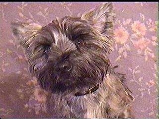 Ted the Cairn Terrier is sitting on a carpet and looking up