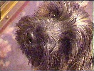Close Up head shot - Ted the Cairn Terrier is looking up while standing on a carpet