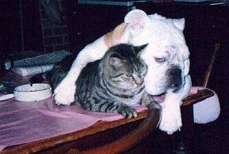 Squirt the white and orange Bulldog laying on a table top with his arm overtop of Brutus the gray tiger cat who is also laying on the a table