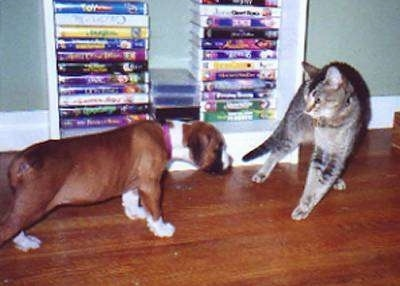 Trudy the Boxer puppy carefully walking towards Fiona the kitten who is fluffed out and stiff. In the background is a stack of VHS Movies
