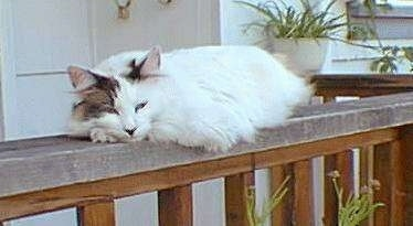 Maggie the Manx Cat is laying on a wooden banister outside in front of a house
