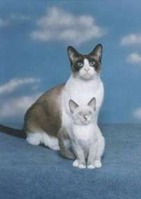 A Snowshoe Cat and Snowshoe Kitten are sitting on a blue carpet in front of a background with clouds