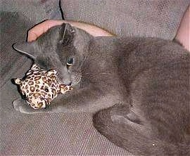 Chittie the Russian Blue cat is laying in the lap of a person on top of a small plush leopard toy
