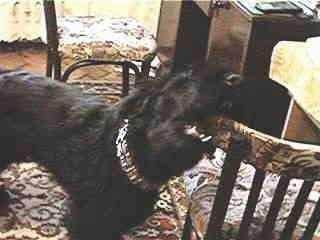 Toto the Giant Schnauzer is chewing on the edge of a chair in a house