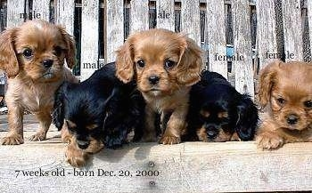 Five Cavalier King Charles Spaniel Puppies are laying and standing on a wooden bench.