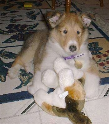 Maximus the Rough Collie Puppy is laying on a rug with a plush Collie toy in front of him