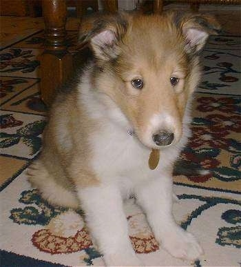 Maximus the Rough Collie Puppy is sitting on a rug under a large table