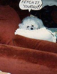 A white Fluffy dog is laying on a pillow on top of a red couch. There is a thought bubble that says - FETCH IT YOURSELF!!!