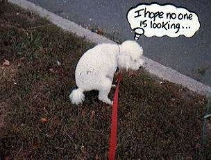 A white Fluffy Dog is in a yard preparing to poo. There is a thought bubble and there are words in it. The Words are - I hope no one is looking...